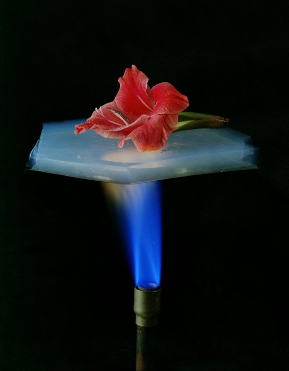 <i>The Flower</i>, the <i>Mona Lisa</i> of aerogel pictures, dramatically demonstrating the superinsulating properties of silica aerogel (image credit Lawrence Berkeley National Laboratory)